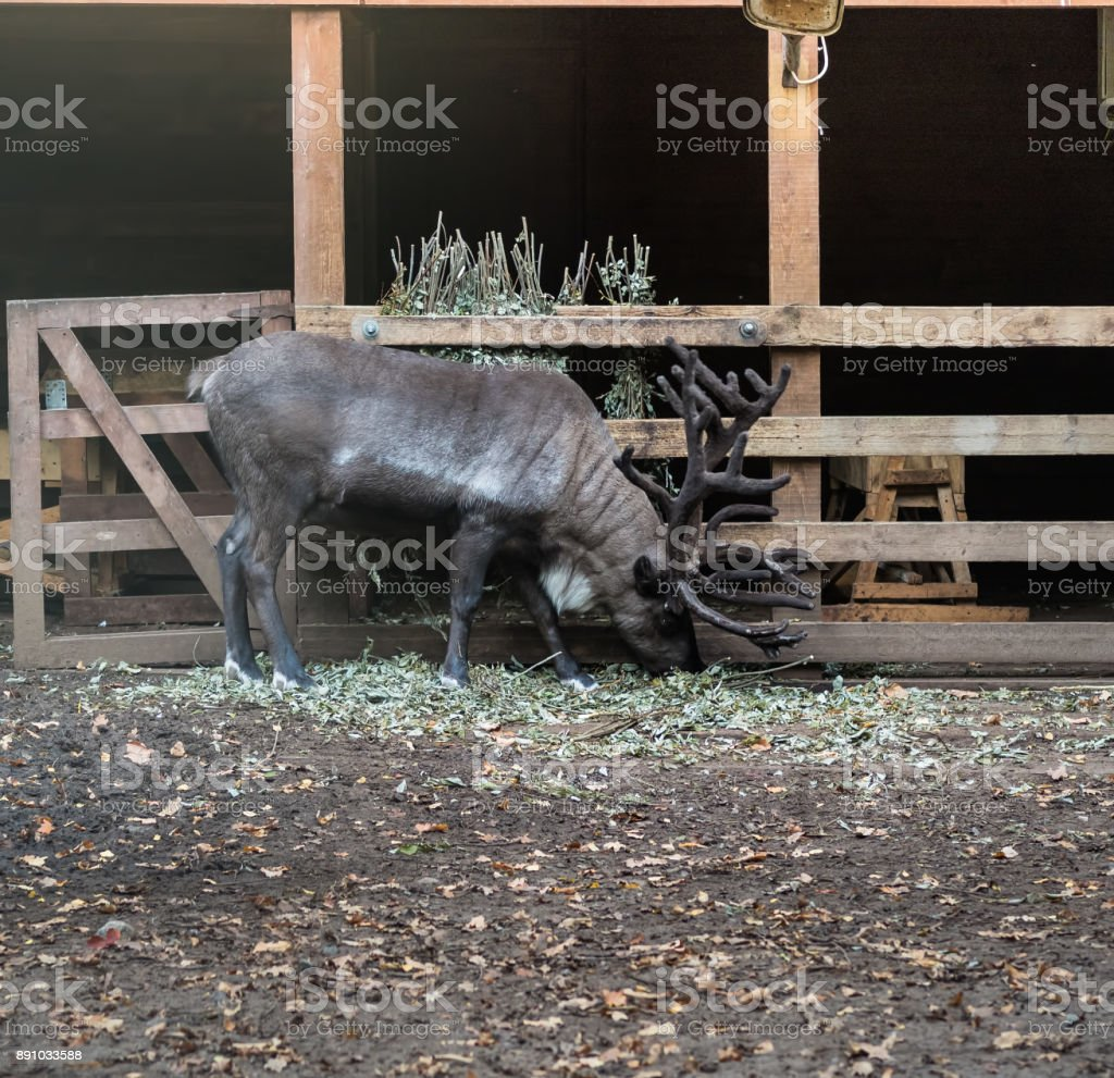 Black deer in a natural park stock photo