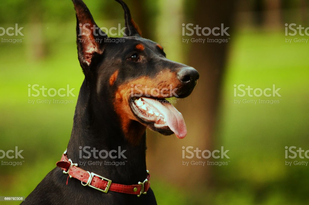 royalty free mean dog pictures, images and stock photos - istock
