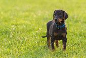 Black doberman puppy on the grass