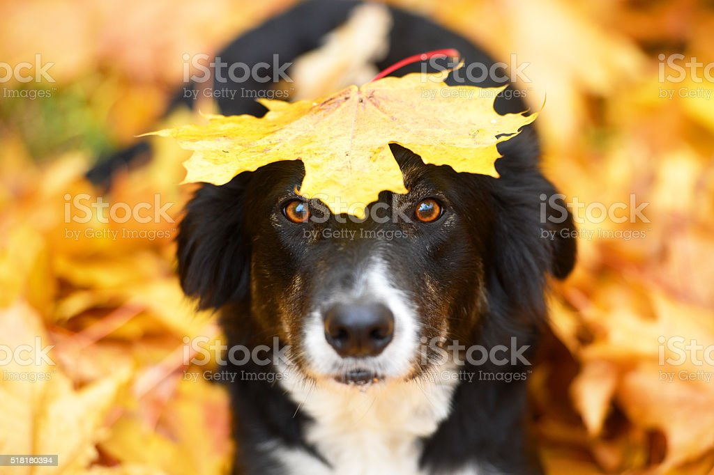 Black dog and maple leaf, autumn stock photo