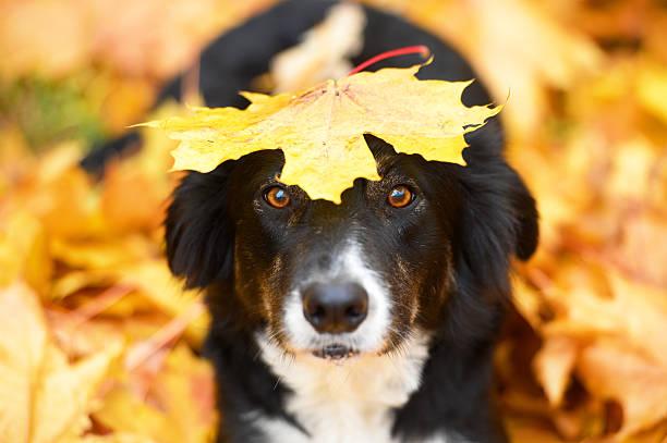 Black dog and maple leaf, autumn stock photo