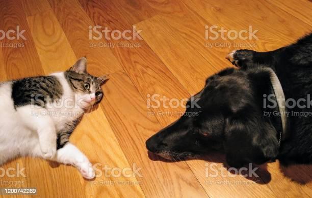 Black dog and playful cat playing together closeup picture id1200742269?b=1&k=6&m=1200742269&s=612x612&h=tmcwrphru ewjzzze5k4nf9kmh6ktu55mv1i1wyettm=