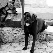 portrait of a young dog of the cane-Corso breed against a background of bright green foliage