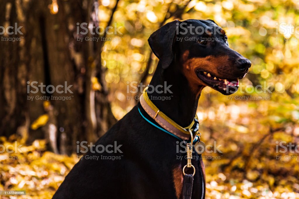 Black dog Doberman on the background of the autumn forest and bright rays - Royalty-free Animal Stock Photo