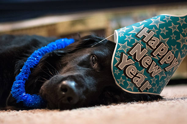 black dog dressed in new year's garb. - silvester mit hund stock-fotos und bilder