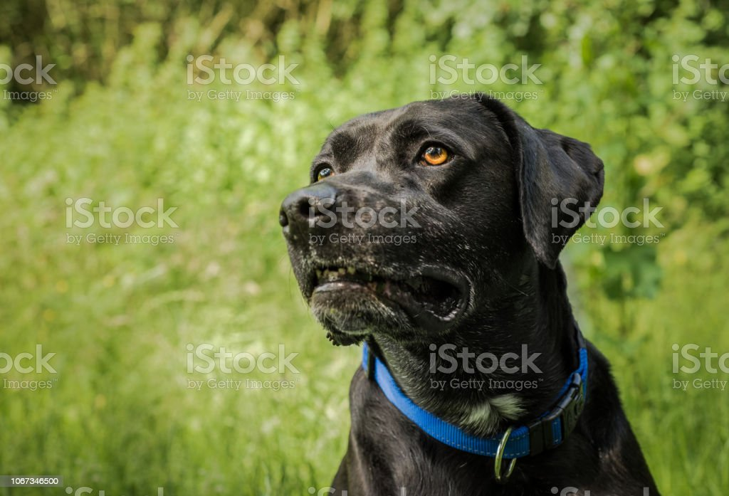 Black dog in a grassy field stock photo