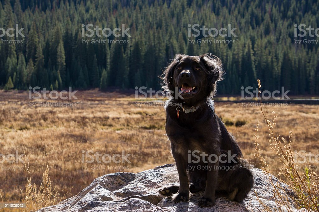 Black Dog in a Meadow stock photo