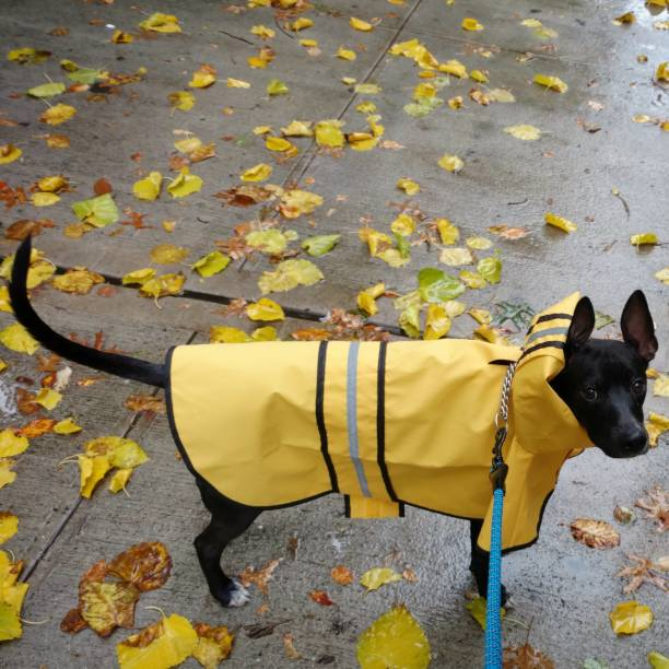 Black Dog in a Yellow Raincoat in Autumn stock photo