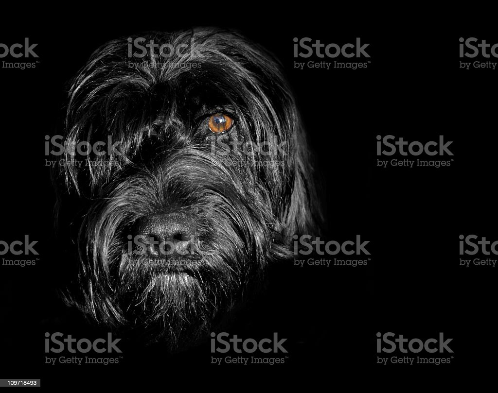 Black dog in the shadows royalty-free stock photo