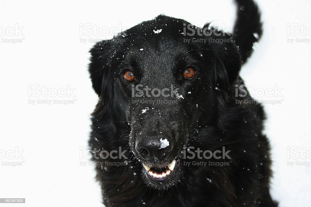 Black Dog In The Snow royalty-free stock photo