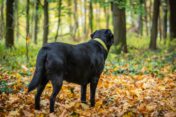 Black dog Labrador Retriever standing in the forest during autumn, dog has green collar, orange leaves are around – zdjęcie