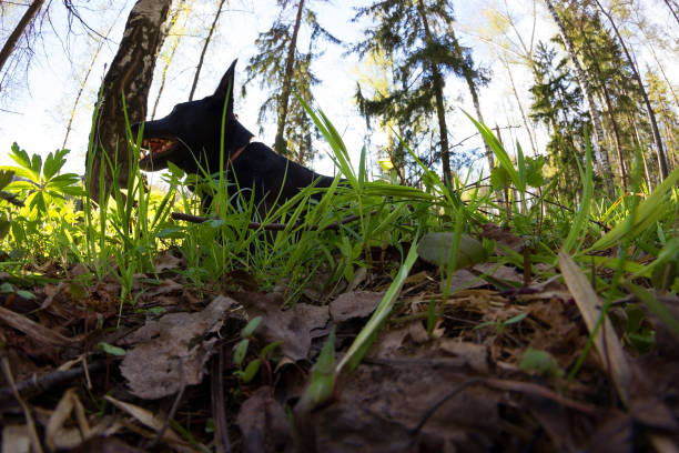 black dog lay in green grass black dog lay in green grass. spring apostatize stock pictures, royalty-free photos & images