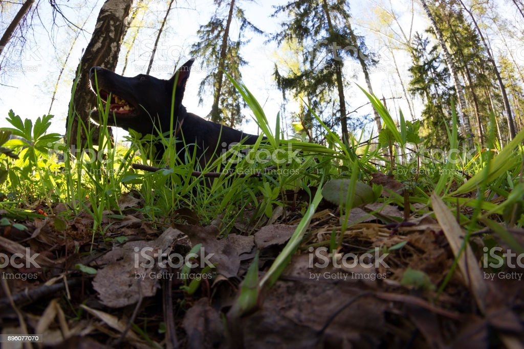 black dog lay in green grass black dog lay in green grass. spring Agricultural Field Stock Photo