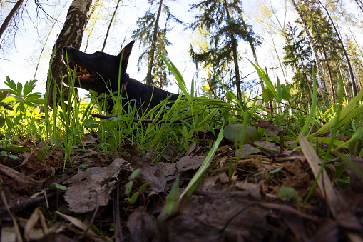 Black Dog Lay In Green Grass Stock Photo - Download Image Now