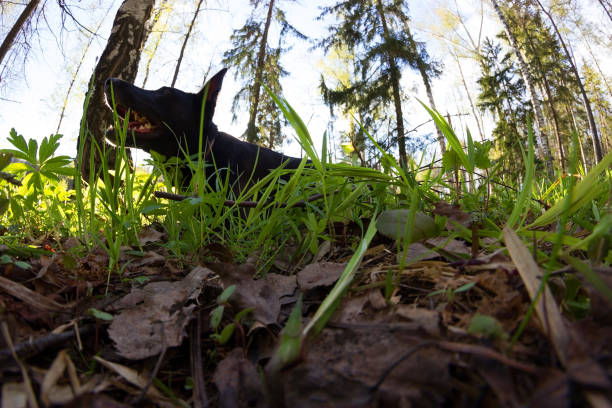 black dog lay in green grass black dog lay in green grass. spring apostate stock pictures, royalty-free photos & images
