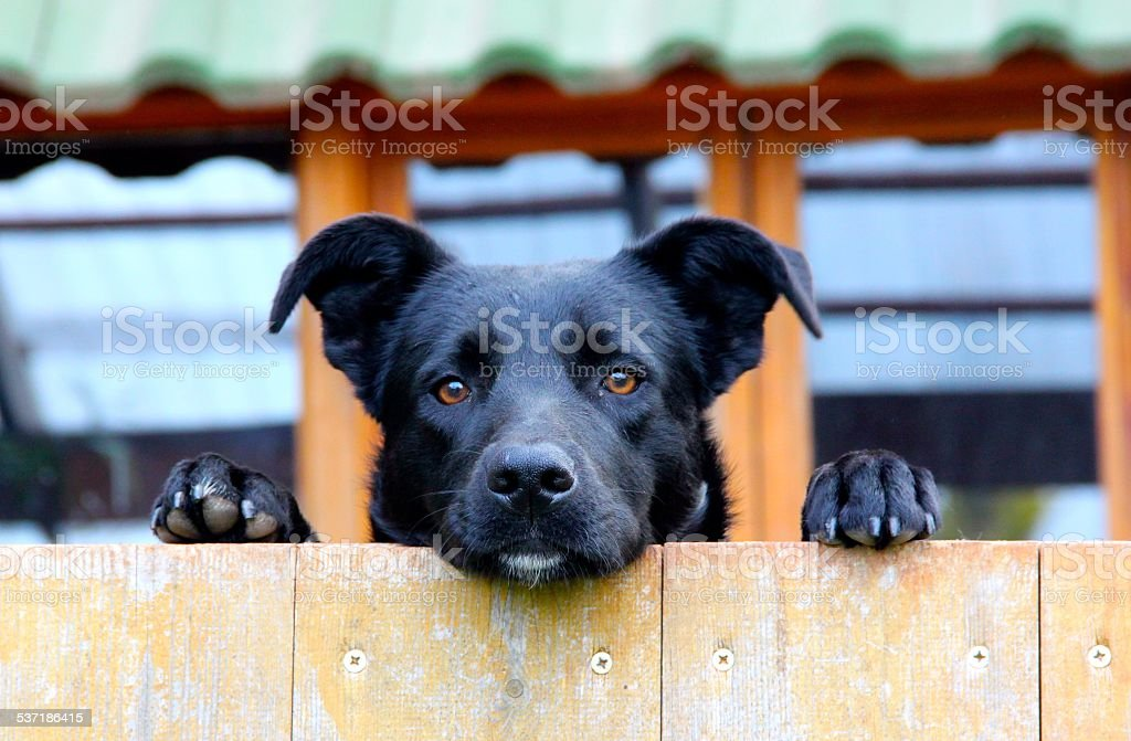 Black dog looking over a fence stock photo