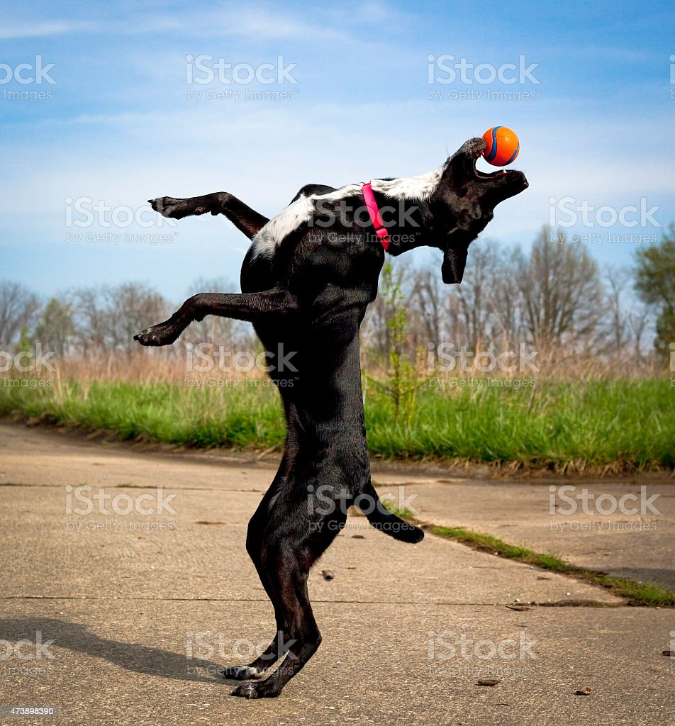 Black dog on hind legs reaching for orange ball stock photo