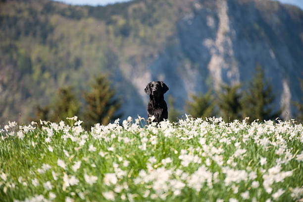 Black dog on top of the hill of flowers stock photo