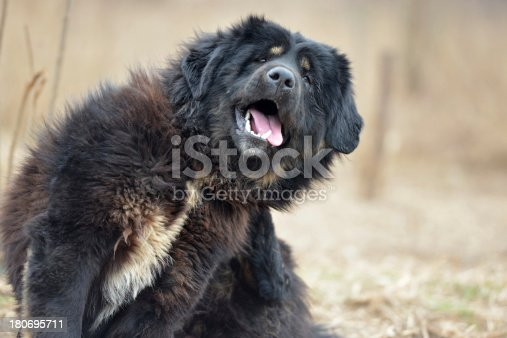 Tongue of black Dog(Tibetan Mastiff) is Scratching his ear.