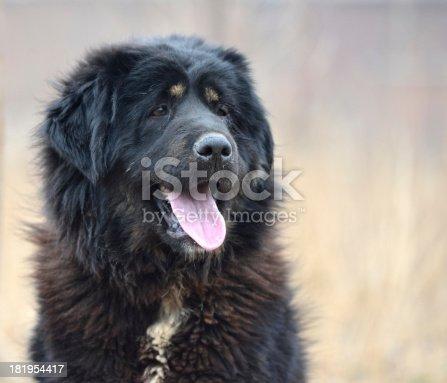 Tongue of black Dog