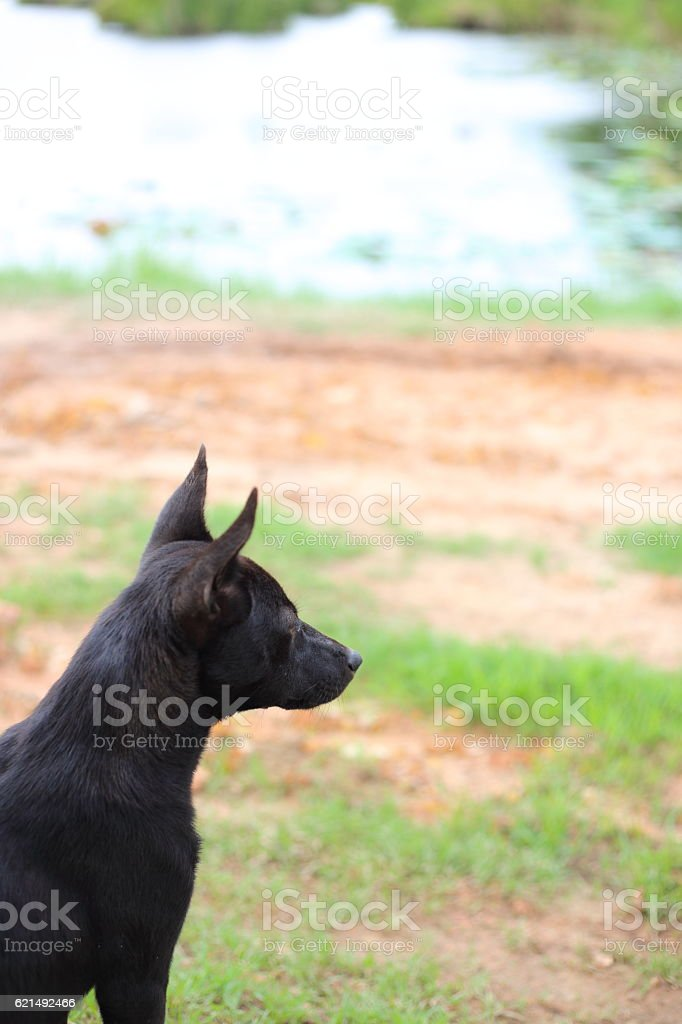 Black chien  photo libre de droits