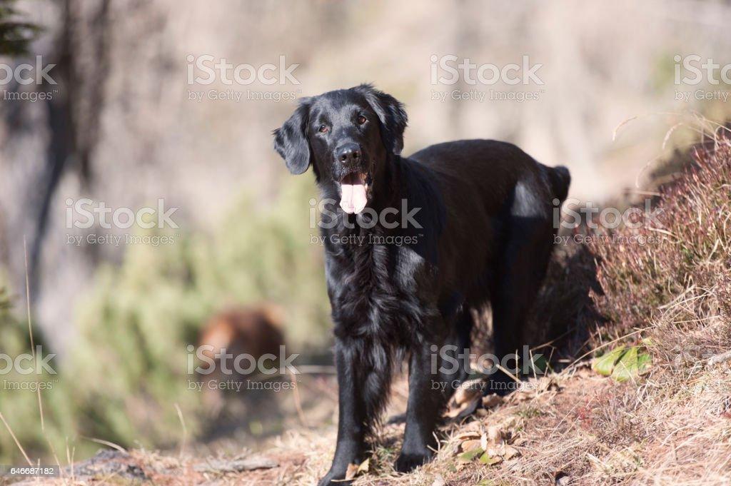 Golden Retriever Negro Stock Fotos E Imagenes Istock
