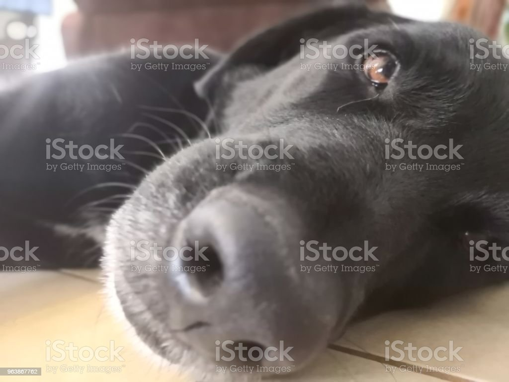 Black dog - Royalty-free Animal Stock Photo