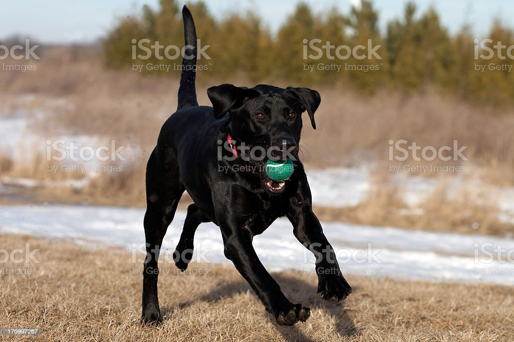 Black Dog Playing Ball in Winter royalty-free stock photo