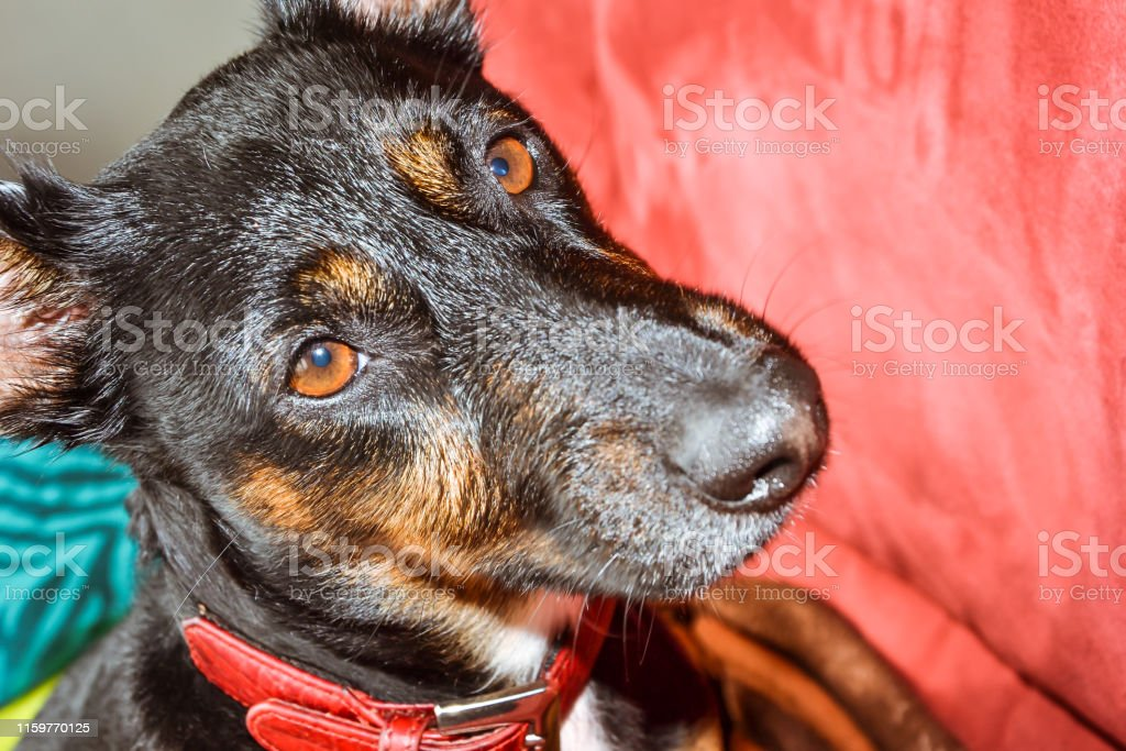 Black dog - sad rescue dog waiting for his owner to come back and...