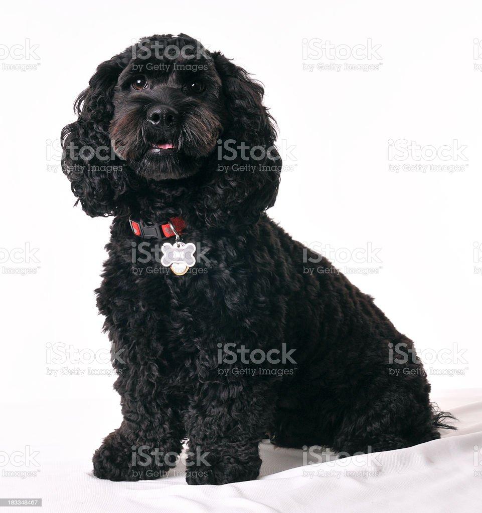 Black dog sitting down stock photo