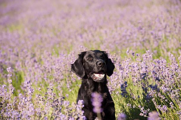 Black dog sitting in lavender field stock photo