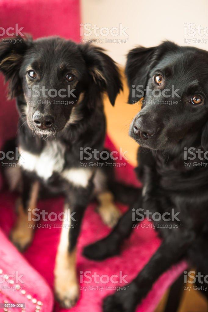 2 Schwarzer Hund Auf Rosa Stuhl Sitzen Stockfoto Und Mehr Bilder Von