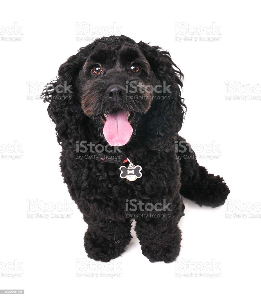 Black dog sitting stock photo