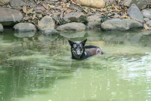 Black Dog swimming in Pool hottest day stock photo