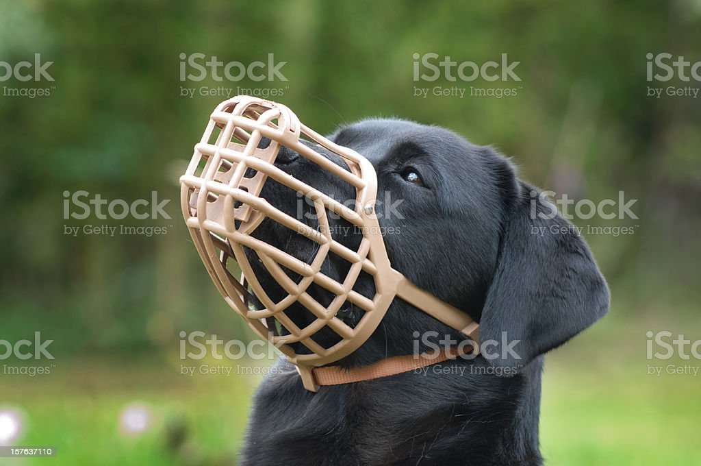 A black dog wearing a plastic muzzle outdoor stock photo