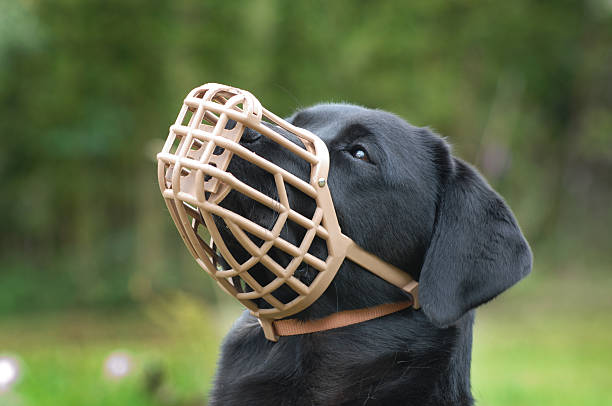 A black dog wearing a plastic muzzle outdoor A muzzled dog prevents the animal from biting, but in this case prevents the labrador from eating unwanted items. snout stock pictures, royalty-free photos & images
