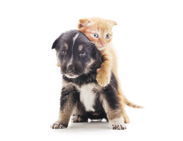 Black dog with a kitten picture id1157830345?b=1&k=6&m=1157830345&s=612x612&w=0&h=s8txy4 fon3 i ama7qgzlnvnjar7w43coewofzfe84=