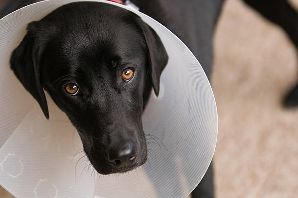 Black dog with collar after neuter operation Black female dog with Elizabethan collar after neuter operation. cone shape stock pictures, royalty-free photos & images