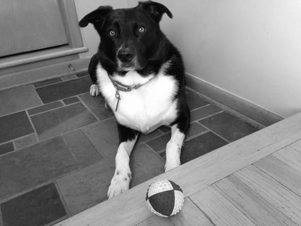 Black Dog With Dog Toy Ball, Happiness (1g3) stock photo
