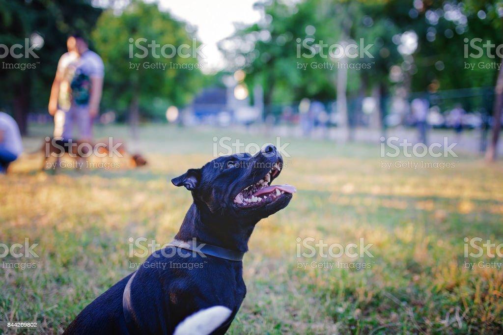 Animal, Canine, Dog, Greyhound, Listening