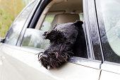 istock Black dog Zwergschnauzer look out the open car window 680200754