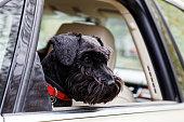 istock Black dog Zwergschnauzer look out the open car window 680200756