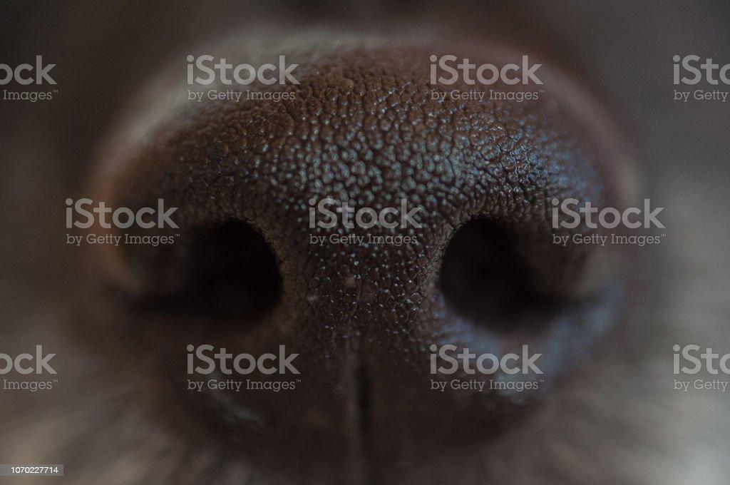black dog\'s wet nose close-up