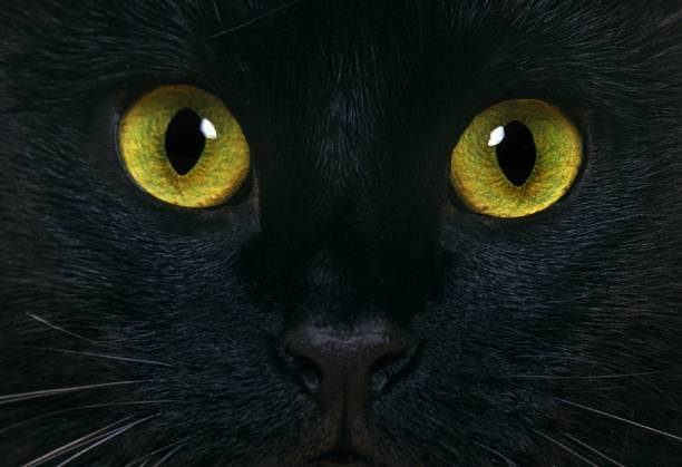 Black Domestic Cat, Close up of Eyes Black Domestic Cat, Close up of Eyes black cat stock pictures, royalty-free photos & images