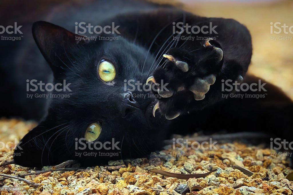 Black domestic Cat - Royalty-free Animal Stock Photo