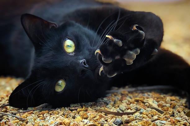 Black domestic Cat stock photo