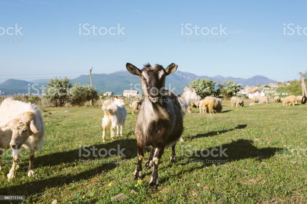Black Domestic Goat at Sunny Meadow stock photo