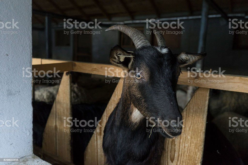 Black domestic goat portrait stock photo