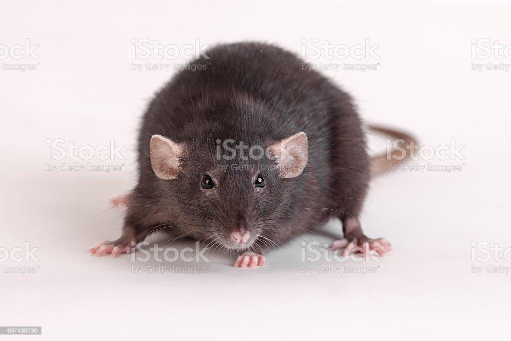 black domestic rat stock photo