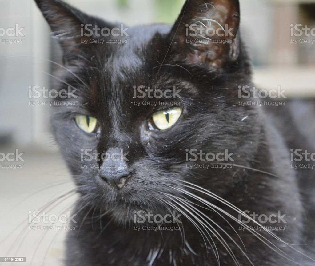 Black Domestic Short Hair Cat stock photo